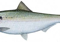 Good shad fishing in Durban