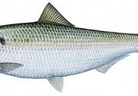 Good shad fishing in Durban
